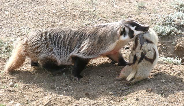 Relentless predation on Gunnison's prairie dogs (Cynomys gunnisoni) by a single American badger (Taxidea taxus)