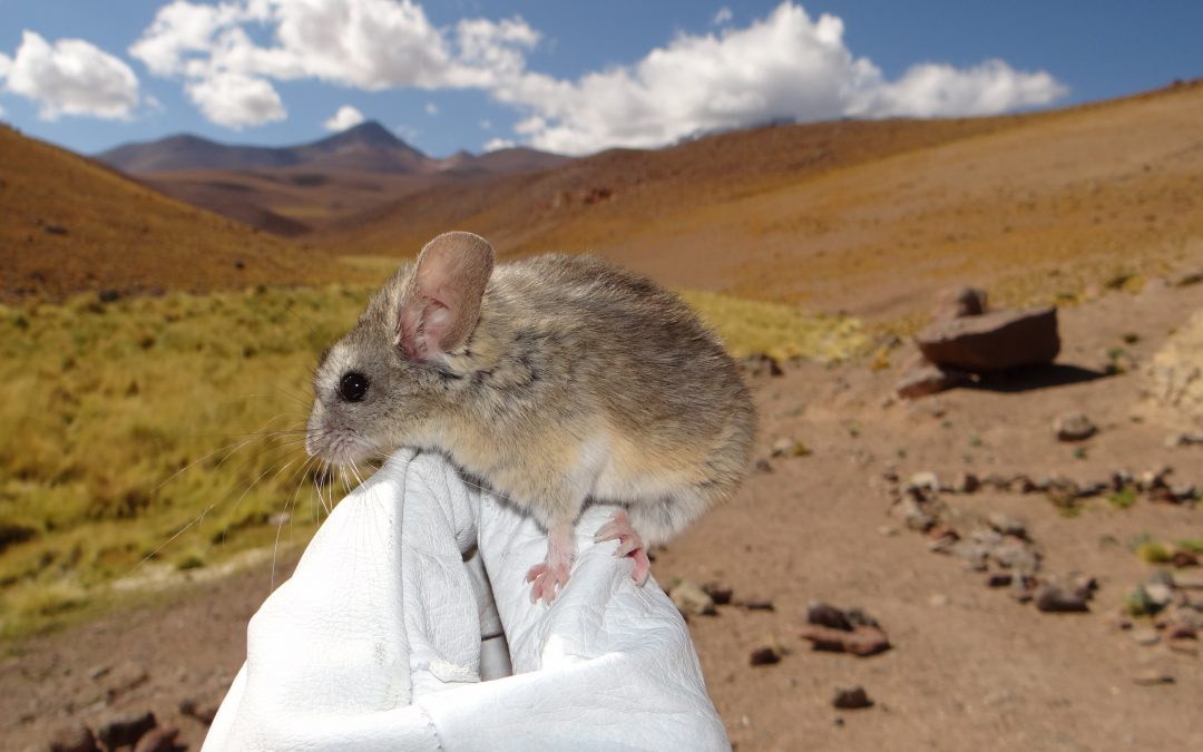 Discovery of the world's highest-dwelling mammal